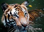 Тигра ударили половником